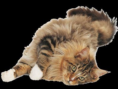 Afbeelding van een rustig liggende kat