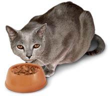 Kat eet van zijn kattenbrokken
